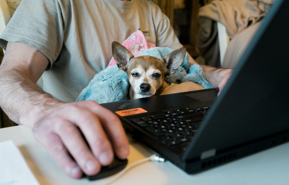 work-from-home-chihuahua