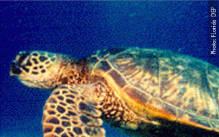 Sea Turtle Ranger